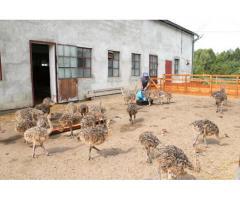 Pollos De Avestruz, Huevos Y Plumas Para La Venta