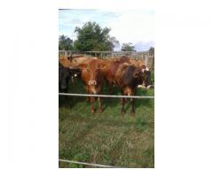 Vendo 20 vacas brangus preñadas de Angus