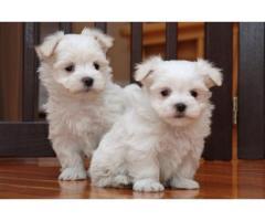 2 cachorros de bichón maltés